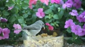 viselkedés : a titmouse and a chickadee look for worms with impatiens in the background Stock mozgókép