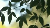 escuro : dark green leaves of a nandina or heavenly bamboo plant Stock Footage