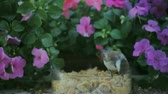 viselkedés : a chickadee eats a mealworm with impatiens in the background Stock mozgókép
