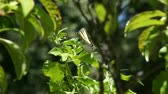 kelebekler : swallowtail butterfly loses its grip on an ivy leaf Stok Video
