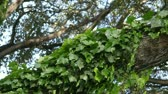oak : ivy twines around a limb in a strong wind Stock Footage