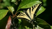 kelebekler : tiger swallowtail holds on to a leaf while buffeted by the wind Stok Video