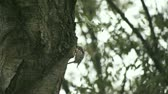 buscar : a hungry woodpecker looks for food in a large tree