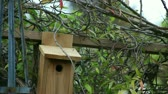 звук : male titmouse sounds an alarm as the female brings nesting materials to a birdhouse Стоковые видеозаписи