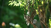 housenka : female chickadee collects material from old nest, drops everything when mate brings her a caterpillar