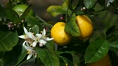 wzrost : close up of a lemon tree with blossoms, immature fruit and lemons ready to pick