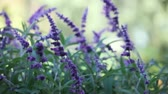başak : fuzzy flower spikes of Mexican sage plants Stok Video