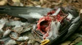 organismo : the remains of a pigeon after it has been mostly eaten by a hawk Vídeos