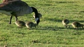 viselkedés : a goose family feeds on the grass at a park