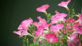 wzrost : pink and white petunias in full bloom in a hanging basket Wideo