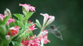 viselkedés : a hummingbird visits red and white mandevilla flowers
