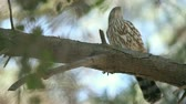falcão : a young sharp-shinned hawk high in a pine tree grooms itself and excretes