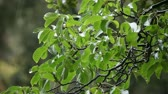 nozes : branches of a walnut tree during rainfall