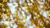 puha : background of yellow leaves defocused with ambient sounds of birds and wind