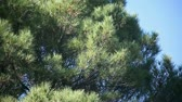 игла : large pine tree on a windy day