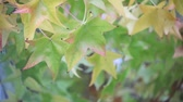 renk : leaves in late fall in California undergoing seasonal changes Stok Video