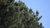 игла : a large pine is blown about on a breezy day