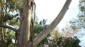 ladrão : eucalyptus with peeling bark and space for text Stock Footage