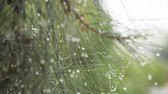 coniferous trees : pine needles with dew drops Stock Footage