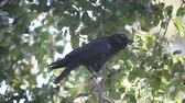 горизонтальный : a crow has a persistent itch but manages to vocalize loudly