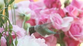 горизонтальный : male ruby-throated hummingbird feeding in lisianthus flowers with roses in the background