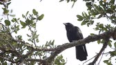 oak : A crow observes its surroundings perched high in a tree. Stock Footage