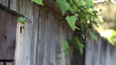 room for text : A songbird carries bits of plants in and out of a nesting box on a fence. Stock Footage