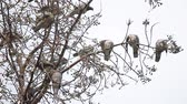 орнитология : Flock of doves grooming themselves