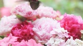 орнитология : Male hummingbird feeds in peonies, petunias and verbena