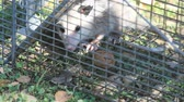 nozes : A juvenile possum has been caught in a trap meant for squirrels. Stock Footage
