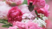 орнитология : Male hummingbird shows off his bright colors in pink and white flowers. Стоковые видеозаписи