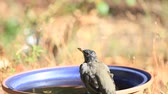 room for text : A backyard bird drinks on a fall day