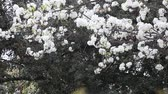 dokulu : A brisk wind blows many petals from a flowering crabapple tree.
