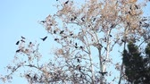 орнитология : Large flock of birds perching, landing, and taking off while calling loudly Стоковые видеозаписи