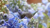 alerta : A hummingbird feeds in blue flowers