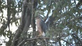 alerta : A young hawk looks for prey below a suburban tree