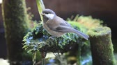 alerta : Fledgling songbird perches on bamboo fountain part and drinks. Stock Footage