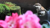 viselkedés : ledgling songbird splashes in a backyard fountain filter next to roses and moss.