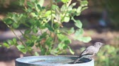 empoleirar : Backyard bird perched on birdbath