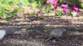 garden flowers : A pair of doves eating seeds dropped from an unseen feeder overhead Stock Footage