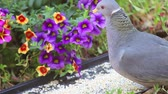 alerta : Gray pigeon feeds beside colorful backyard flowers