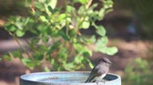 alerta : Backyard female bird perches on ceramic dish while hunting for food