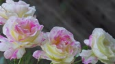 horticultura : Grouping of hybrid tea roses in a spring garden