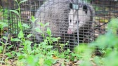 backyard : Nocturnal animal in a humane trap