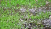 Patchy lawn with puddles in the rain Stok Video