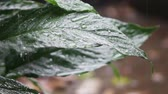 осадки : Healthy plant leaves in a rainstorm Стоковые видеозаписи