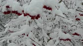 wintertime : The berries of the viburnum are covered with snow. Stock Footage
