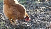 stodola : The hen is rowing in the ground and looking for food. The hen walks in the farmyards yard.
