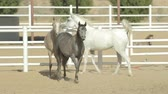 domestic : Young and beautiful horses in a corral. Nice thoroughbred foals in stable.