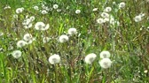 White dandelion head blowball with flying seeds on green grass field background